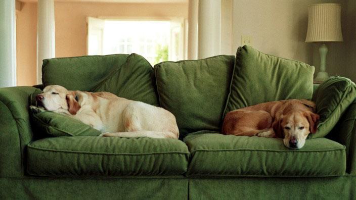 Zwei Hunde ligen auf der Couch
